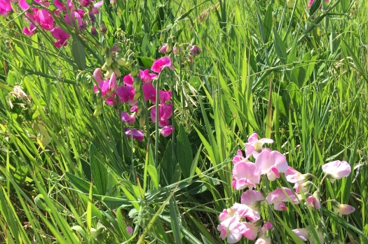 wild sweet peas, and some Mendelian genetics in action