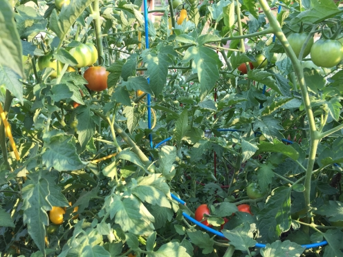 my slowly ripening tomatoes
