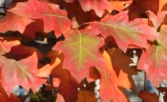 red.orange oak