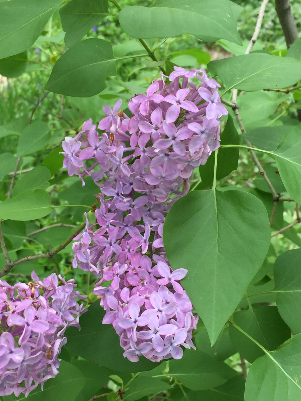 flowers--lilac