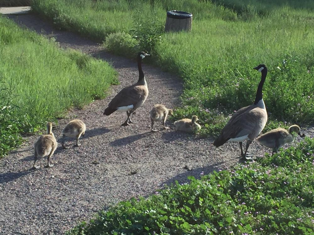 ragtag geese