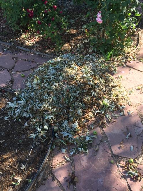 Raking leaves in June