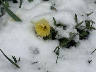 snow daff