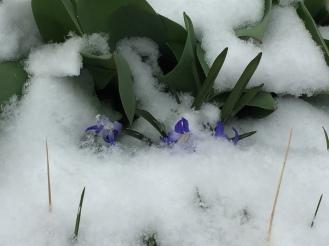 snowscilla
