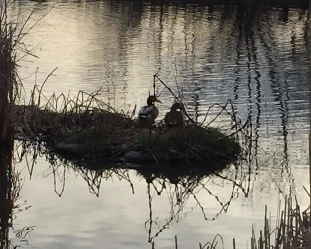 warembourg ducks